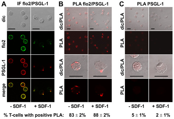 Interaction of PSGL-1 and flotillin-2 in human T-cells studied with PLA.