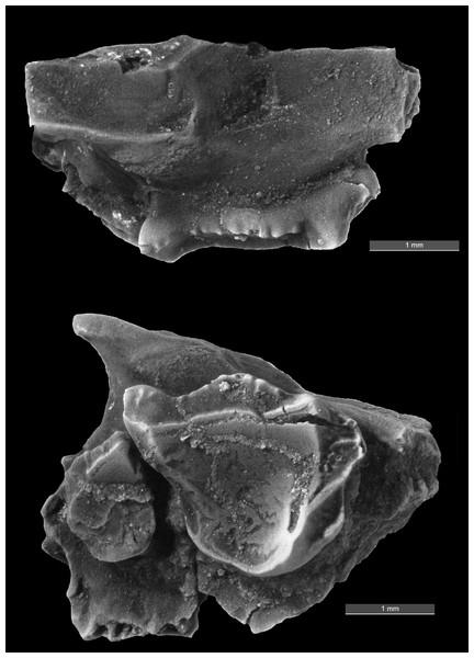 Image of fossil specimen.