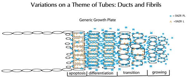 Schematic representation of tube formation – a critical process in diverse tissues.