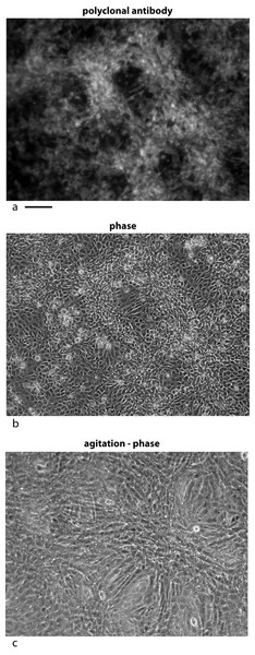 Localization of the bone factor/cofactor in the extracellular space and disruption by gentle agitation.