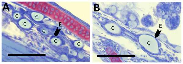 Thyroid follicle sections from cod larvae.