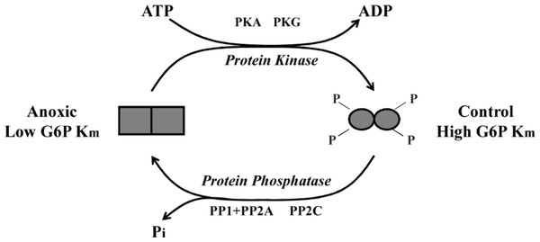 Schematic representation of L. littorea hepatopancreas G6PDH control by reversible phosphorylation between normoxic and anoxic conditions.
