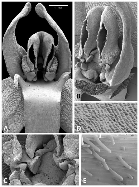 Scanning electron micrographs of flowers of British P. bifolia.