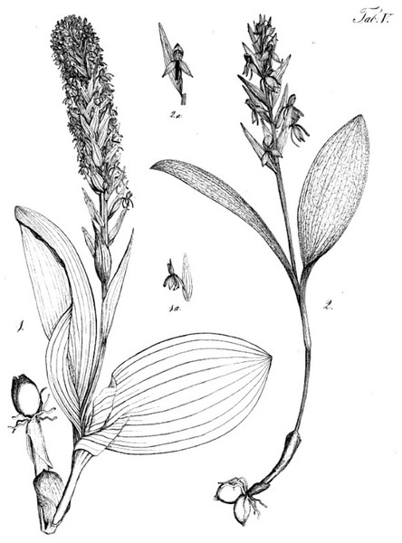 Original line drawings depicting the holotypes of P. micrantha (left: labelled Gymnadenia/Habenaria micrantha) and P. azorica (right: labelled Gymnadenia/Habenaria longebracteata).