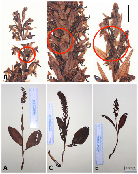 Images of whole plants and magnified images of the best-preserved flowers (circled) of the holotypes of the three Azorean Platanthera species.
