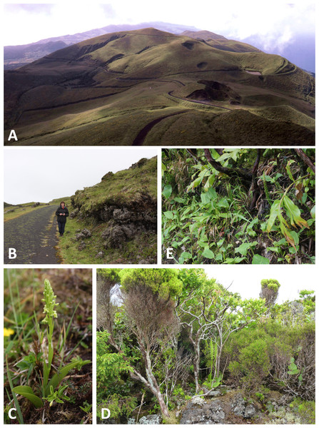 Habitats of the Azorean Platanthera species (continued).