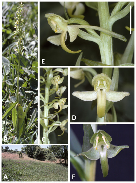 Plants, flowers and habitat of P. algeriensis from Ifrane, Morocco (A–E) and Ghisonaccia, Corsica (F).