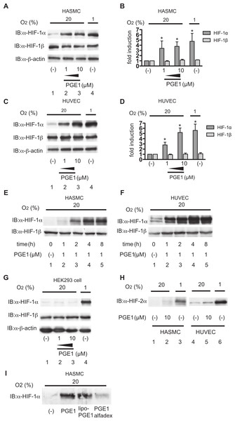 PGE1 induces HIF-1α protein accumulation in vascular-derived cells.