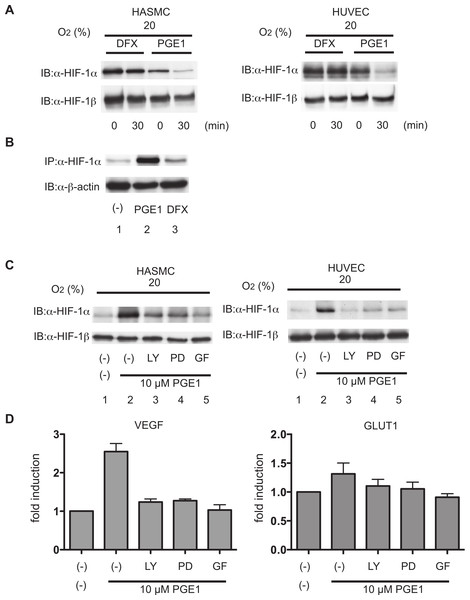 Effect of PGE1 on stability and synthesis of HIF-1α.
