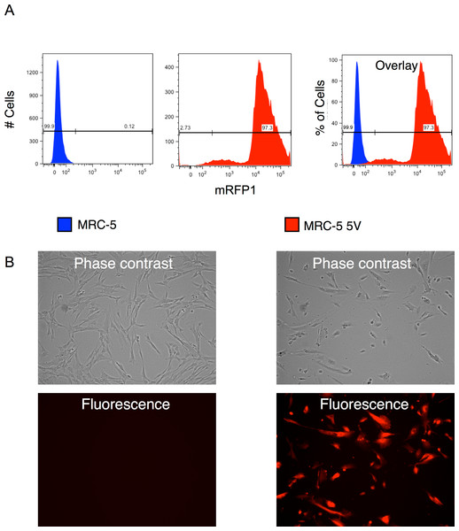 Efficiency of transduction of MRC-5 fibroblasts by RF vector cocktail.