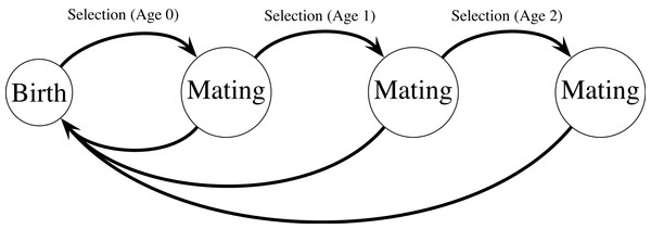 Haploid life cycle for cohorts of males: haploid males emerge, grow, undergo selection, then mating, then repeated episodes of selection and mating.