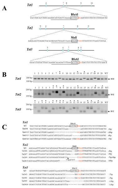Identification and sequencing of successfully targeted Tet1, Tet2, and Tet3 genes in mouse haploid ESCs.
