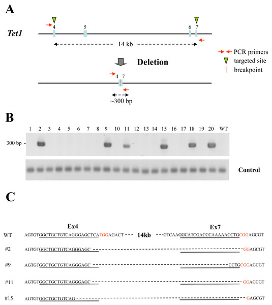 Large chromosomal deletions mediated by two sgRNAs targeting the same chromosome in mouse haploid ESCs.