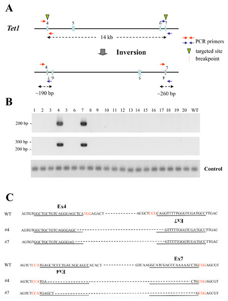 Large chromosomal inversions mediated by two sgRNAs targeting the same chromosome in mouse haploid ESCs.