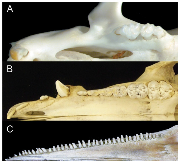 Comparison of mammalian dental patterns showing the differences in regionalization of tooth morphology.
