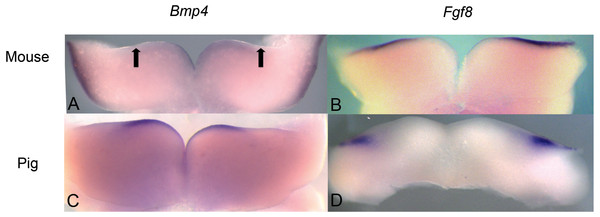 Comparison of Bmp4 and Fgf8 expression in mouse and pig using in situ hybridization.