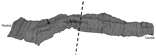 Three-dimensional reconstruction of histological sections of the developing dolphin maxillary arch (LACM 94750).