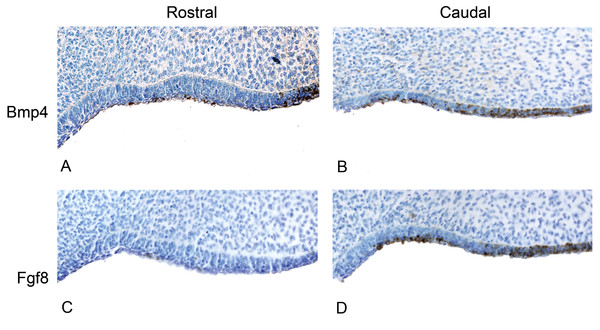 The presence of BMP4 and FGF8 protein during the oral epithelial thickening stage using immunohistochemistry on dolphin embryos (LACM 95670).