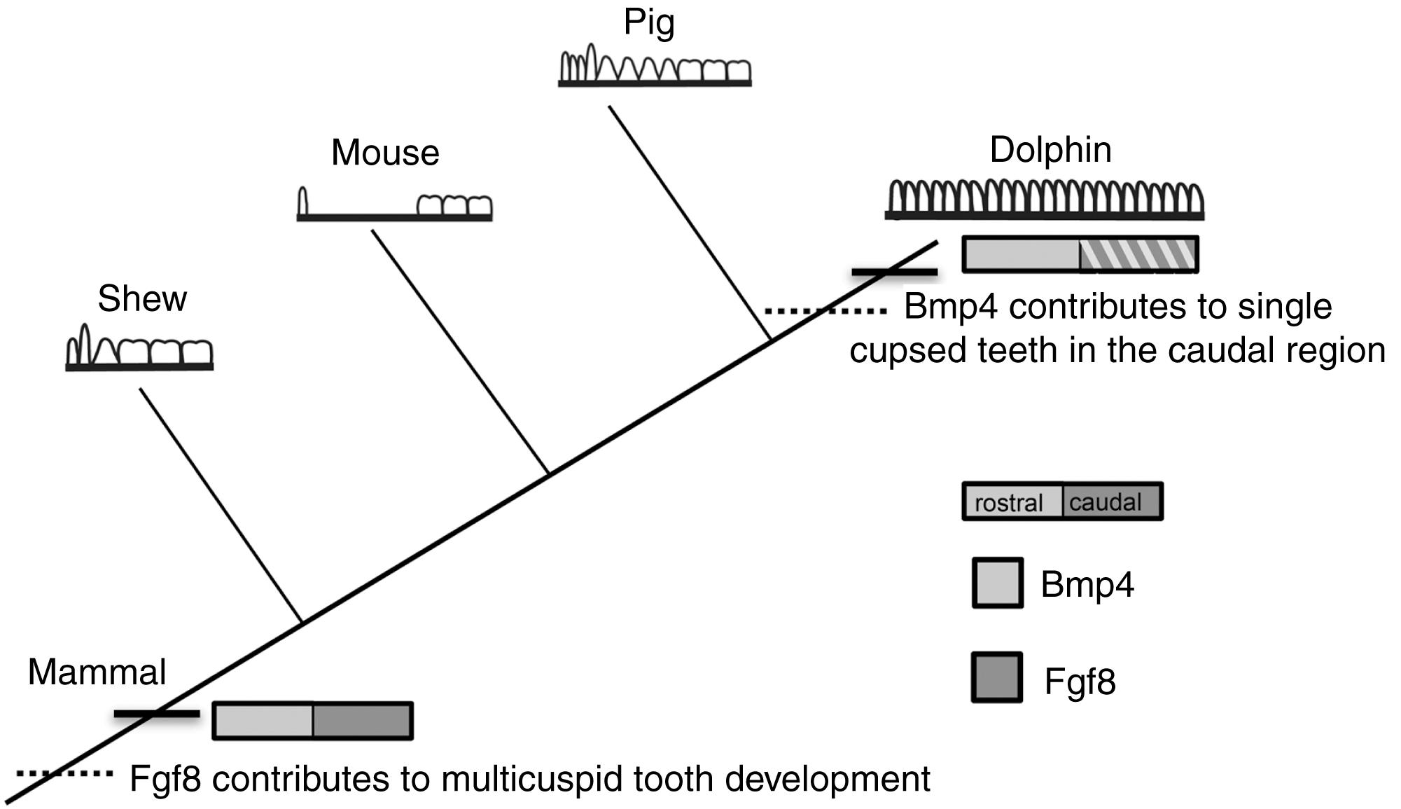 development and evolution of the unique cetacean dentition