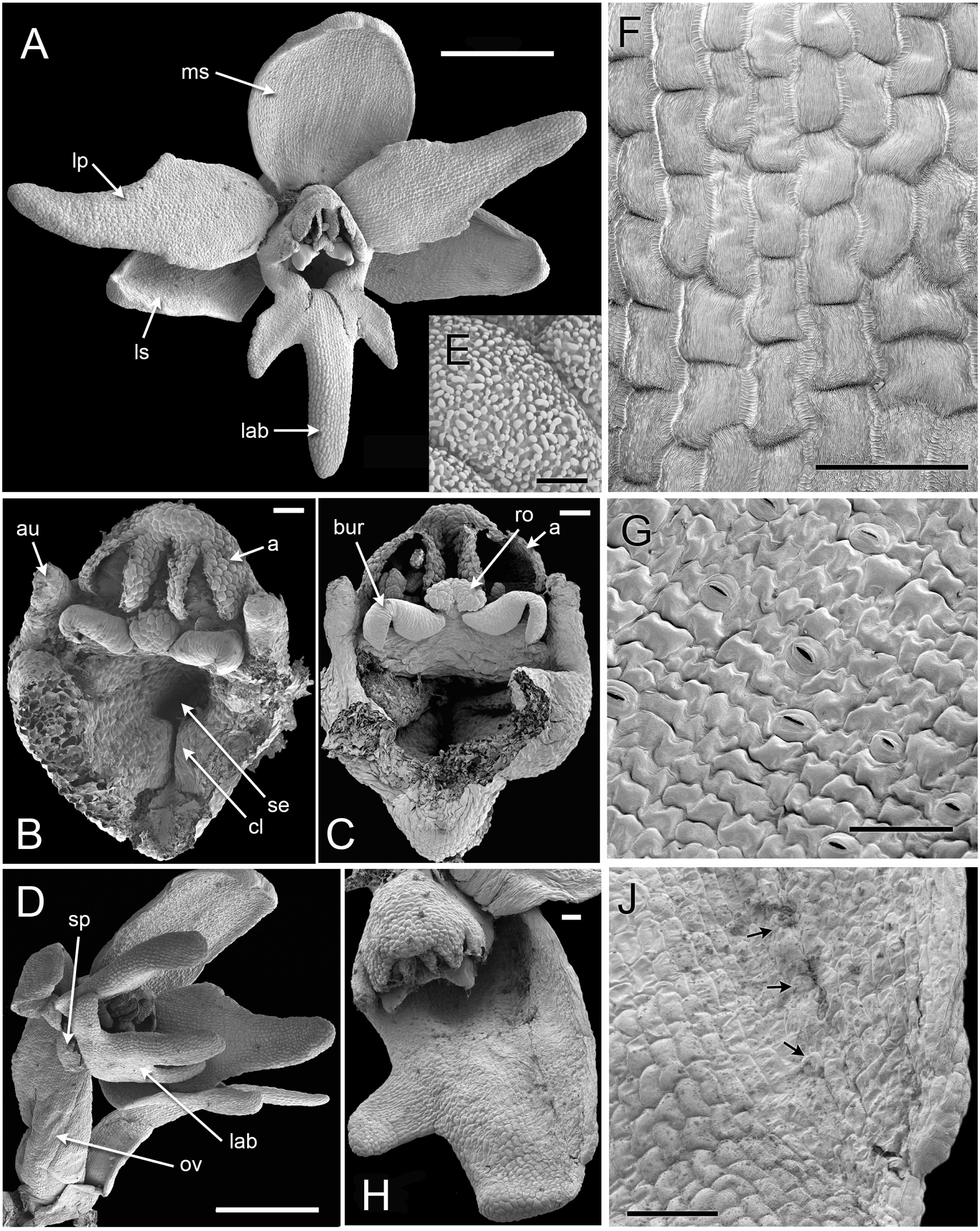 Organ homologies in orchid flowers re-interpreted using the Musk ...