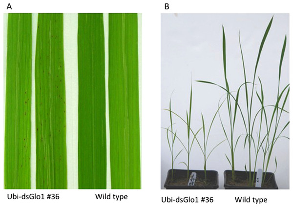 Lesion mimic phenotype and reduced plant growth of Ubi-dsGLO1 plants.