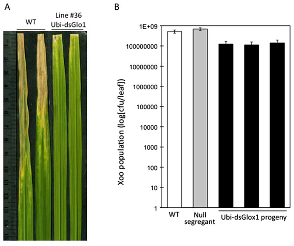 Enhanced disease resistance phenotype of Ubi-dsGLO1 plants.