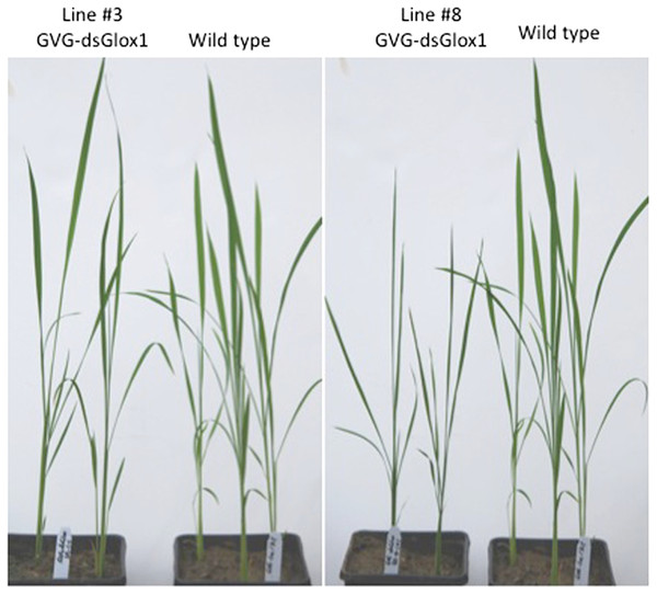 Morphology of three weeks old plants of GVG-dsGLO1 transgenics and wild type Kitaake control.