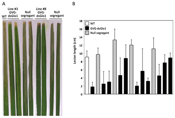 Resistance in GVG-dsGLO1 transgenic plants.