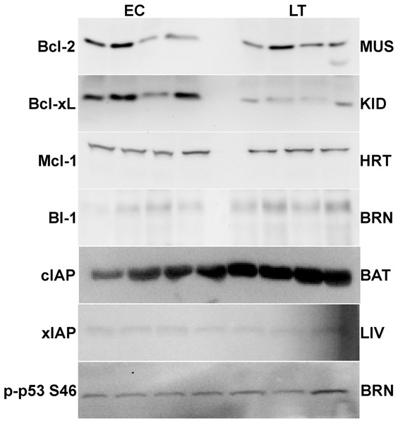 Representative Western blots for extracts from each tissue are shown.