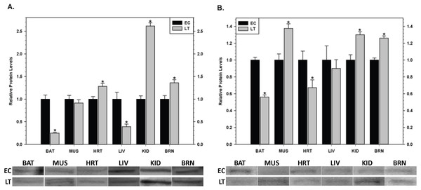 Changes in the protein levels of members of the inhibitor of apoptosis (IAP) protein family comparing euthermic (EC) and hibernating (LT) conditions in ground squirrel tissues. (A) The relative expression levels of cIAP1/2. (B) The relative expression levels of xIAP.