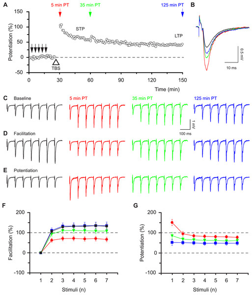 Synaptic responses within high frequency bursts are regulated by LTP in a time-dependent manner.