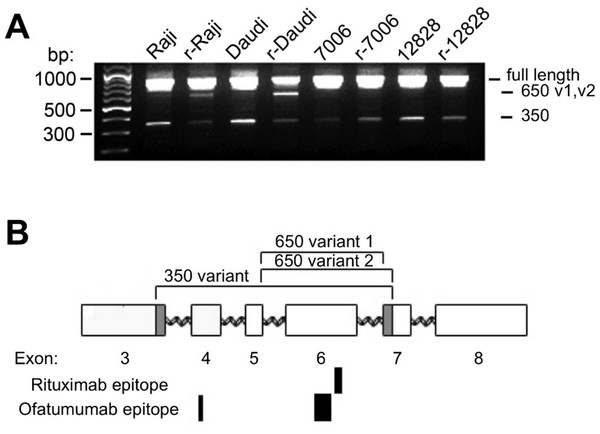CD20 mRNA splice variants.