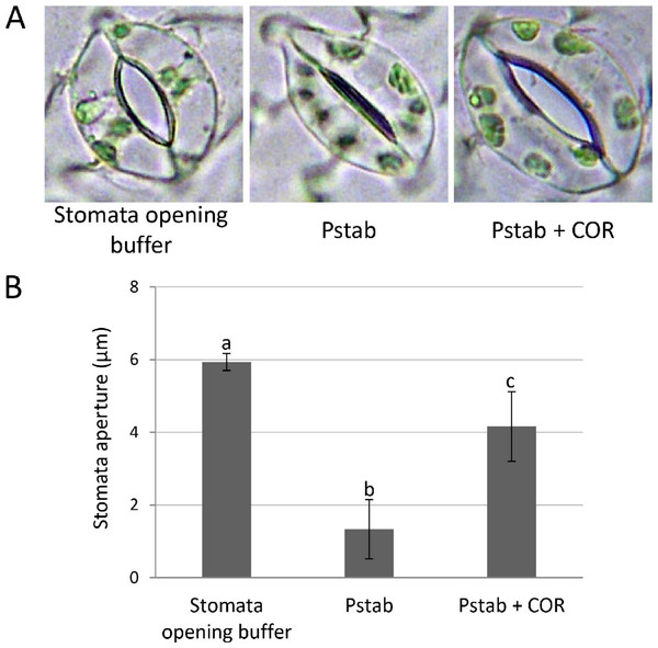 COR suppresses stomatal closure induced by P. syringae pv. tabaci in tomato (A and B).