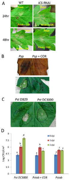 COR delays nonhost HR cell death induced by P. syringae pv. tabaci and P. syringae pv. phaseolicola in tomato.