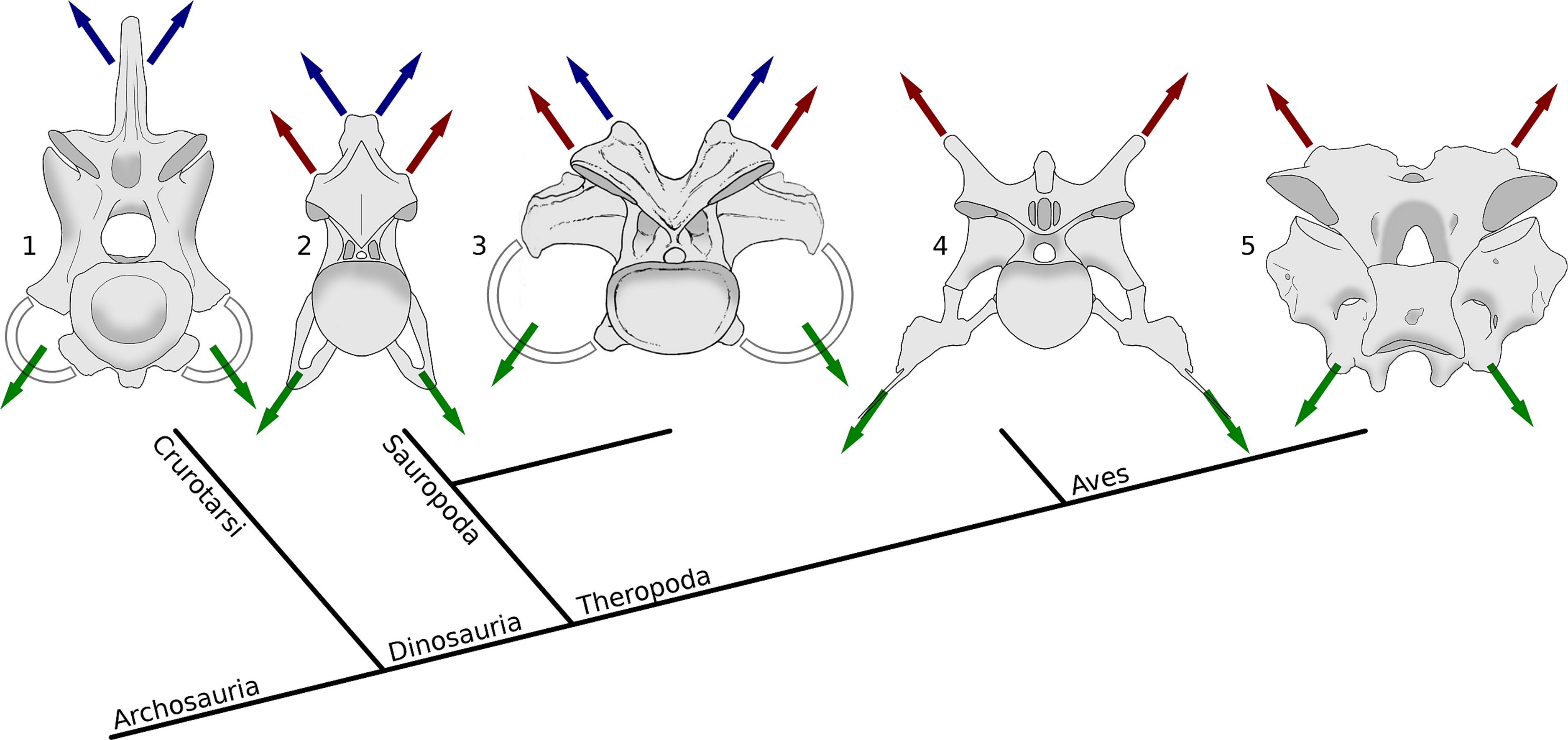 Why Sauropods Had Long Necks And Why Giraffes Have Short Necks Peerj