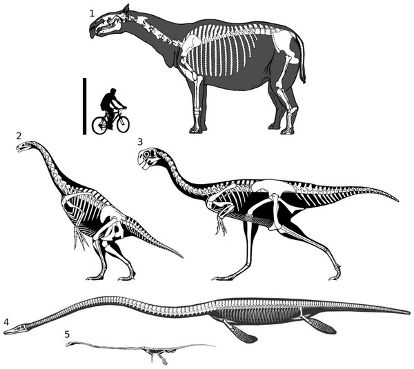 Full skeletal reconstructions of selected long-necked non-sauropods, to scale.