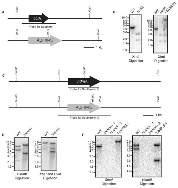 Construction of deletion and subsequent complementation strains of cclA and hdmA in A. fumigatus.