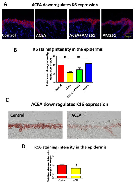 The CB1 specific agonist, ACEA significantly inhibits K6 and K16 expression in situ.