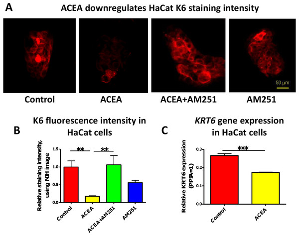 The CB1 specific agonist, ACEA significantly inhibits K6 expression in cultured HaCaT cells.