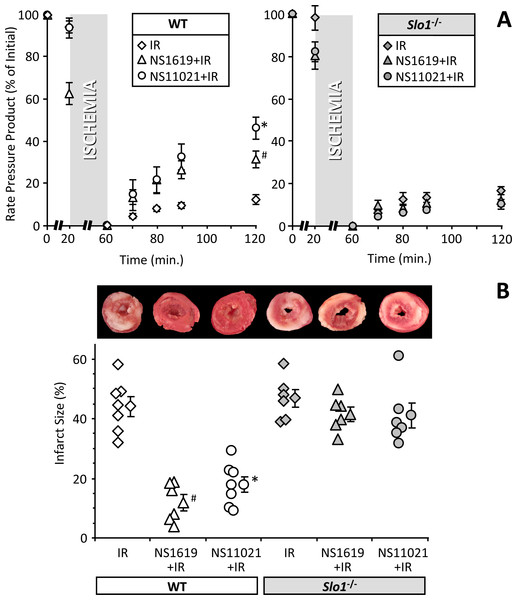 SLO1 dependent protection of perfused mouse heart against ischemia-reperfusion (IR) injury.