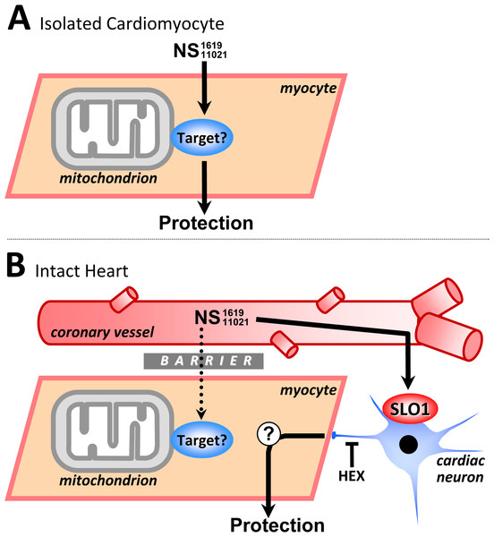 Working model of SLO1 (in)dependent mechanisms of action in NS1619/NS11021 cardioprotection.