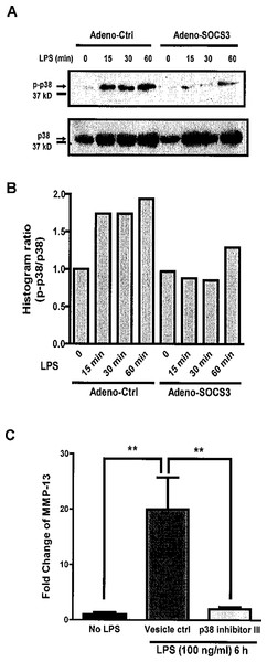 SOCS3 inhibits LPS-induced MMP-13 expression through p38 MAP Kinase pathway in MC3T3-E1 cells.