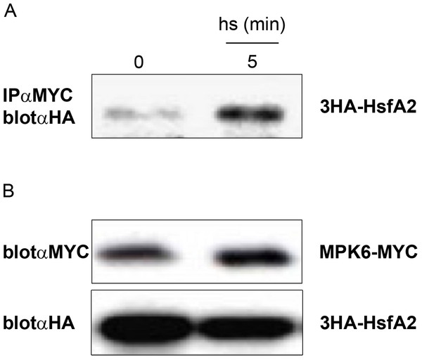 In vivo complex formation of MPK6 with HsfA2.