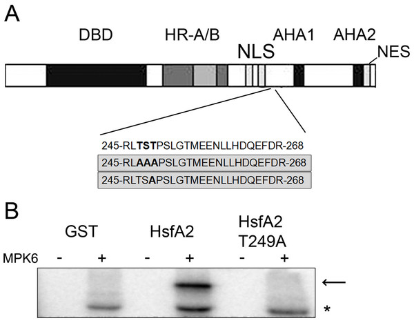 MPK6 phosphorylate HsfA2 on T249.