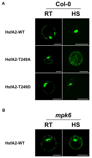 Analysis of the subcellular distribution of HsfA2 during a heat stress.