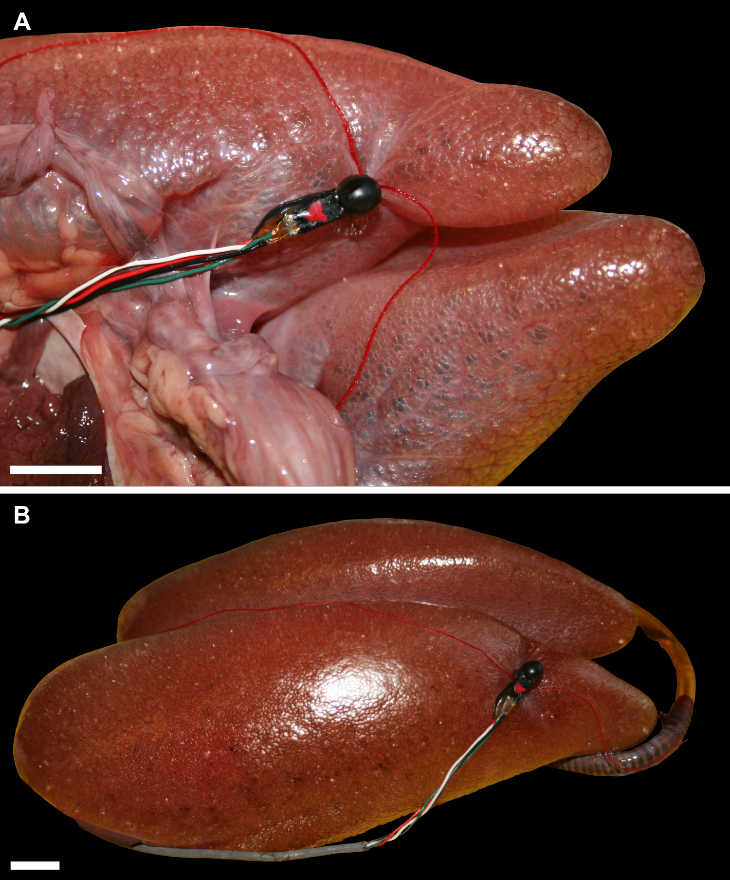 Pulmonary anatomy in the Nile crocodile and the evolution of ...