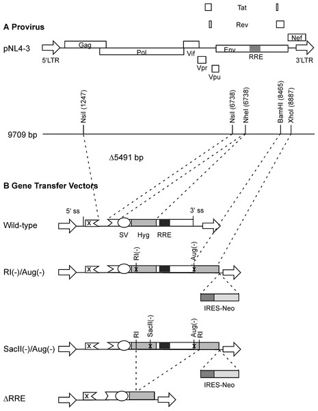 Schematic representation of HIV-1 provirus and RRE-deleting HIV-1 vectors.