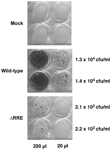 A vector lacking RRE is severely crippled for transduction into HeLa cells.