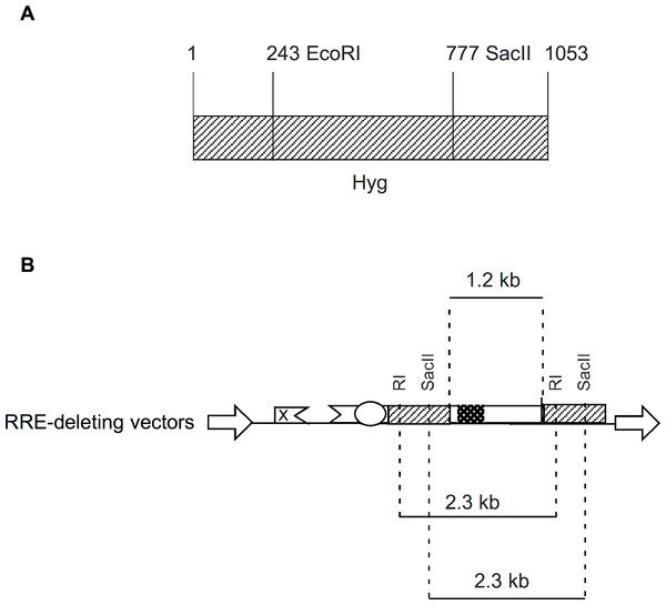Schematic showing location of restriction enzyme sites in the context of Hyg sequence and the RRE-deleting vectors.