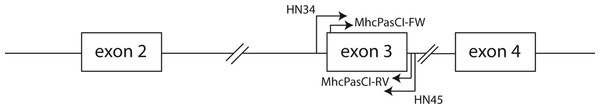 Schematic representation of part of an MHC class I gene.